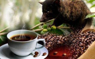 Копи Лювак: в чем секрет самого известного кофе в Мире