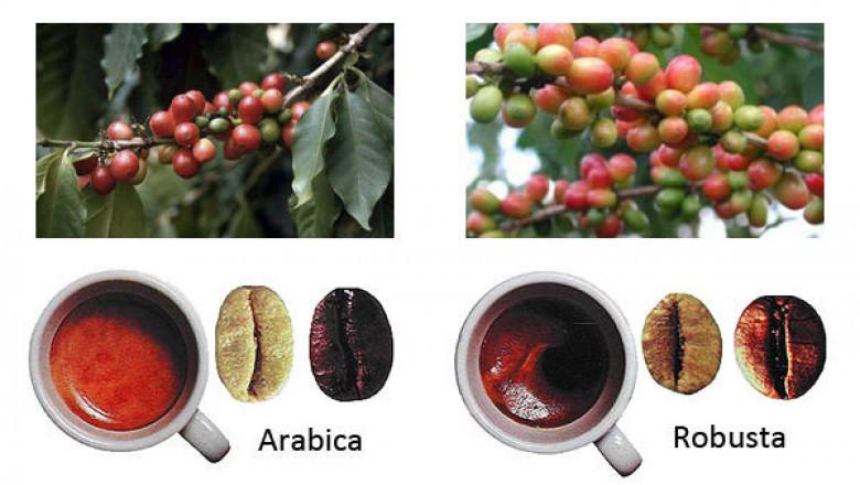 Различия робусты и арабики
